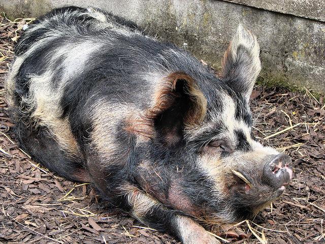 研究人员发现转基因猪能抵抗呼吸综合征病毒