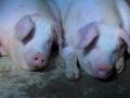 北方135高效保健养猪新技术(二)