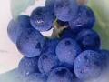 酿酒葡萄成长记