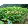 供应优质油桐苗